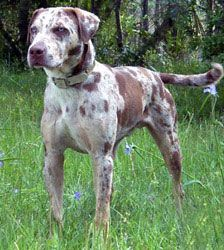 Catahoula Leopard Hounds - For coon hunting...I really just want one lol