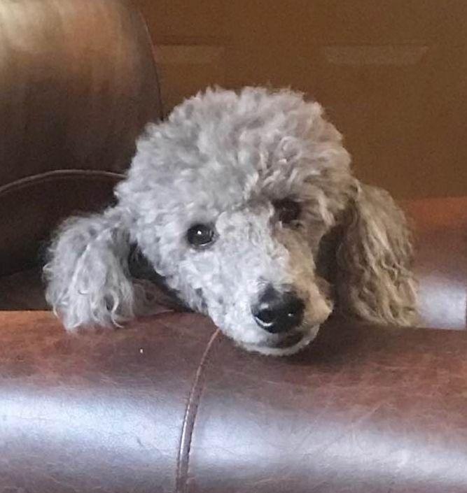 Poodle (Standard) dog for Adoption in St. Cloud, MN. ADN-712623 on PuppyFinder.com Gender: Female. Age: Senior