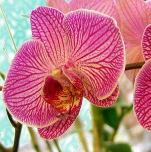 : Орхидеи