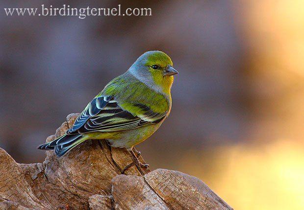 Birdingteruel: Turismo ornitológico en las Sierras de Gúdar y Javalambre | SoyRural.es