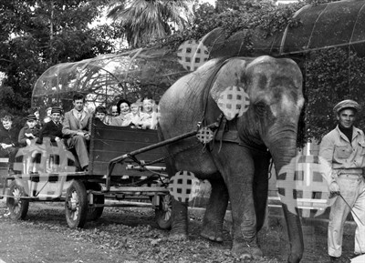 Samorn the elephant taking group for a ride at the Adelaide Zoo