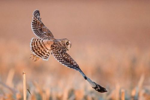 Photo by Melissa Groo. A short-eared owl lifts off from a cornstalk in pursuit of prey in Aurora New York.  Melissa Groo discusses how to increase your chances of capturing beautiful wildlife photographs without compromising your subjects welfare in her Wild By Nature column in the October issue.     #OPOctober #wildbynature #landscape_lovers #sky_captures #landscapephotography #fantastic_earth #landscape_captures #ic_landscapes #ig_exquisite #ourplanetdaily #landscapelovers…