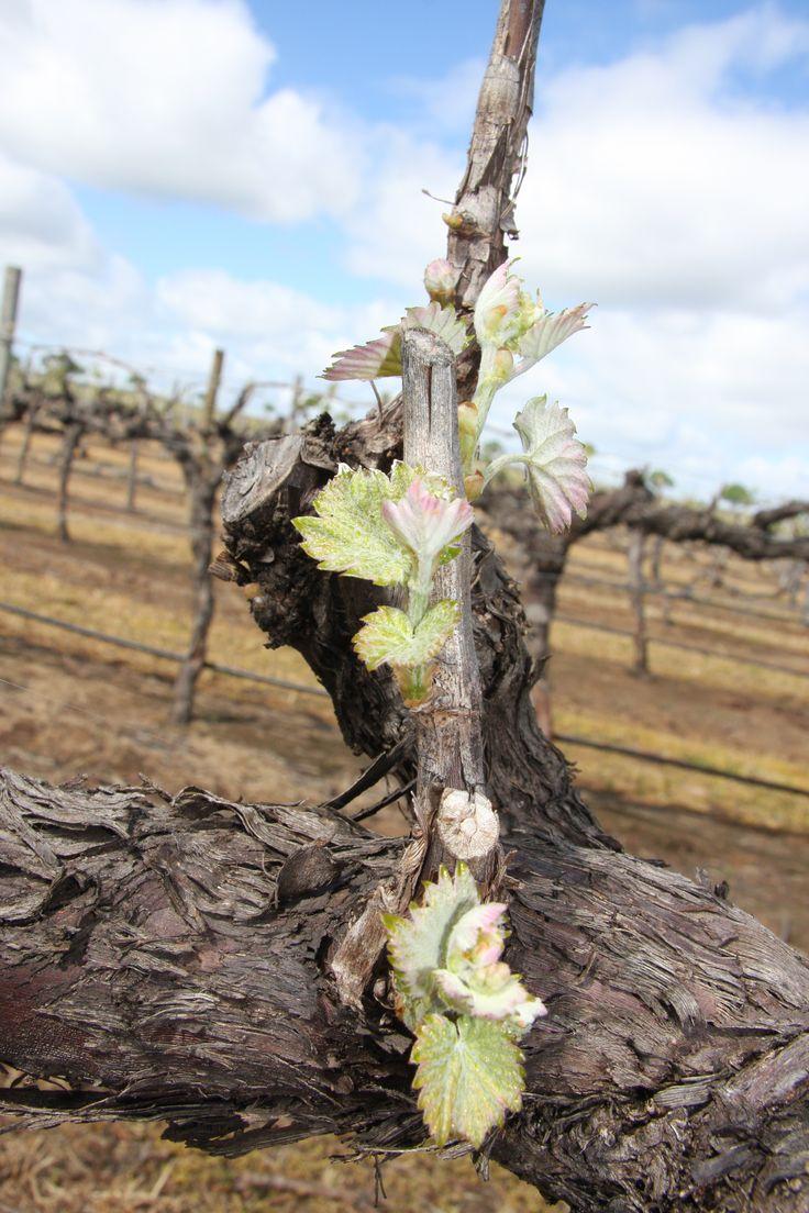 Pretty pink Shiraz vine bud-burst at Turkey Flat Vineyards, Barossa Valley, South Australia.