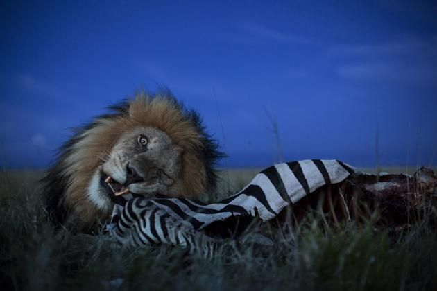 The Short Happy Life of a Serengeti Lion