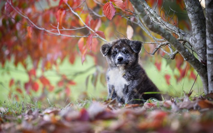 Download wallpapers autumn, Akita-inu, puppy, small dog, cute animals, gray puppy