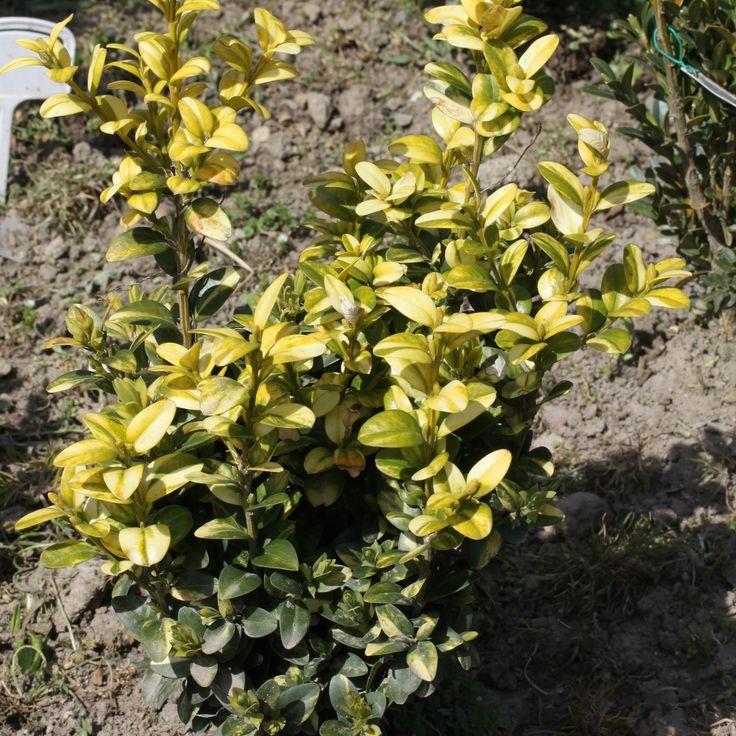 Buxus sempervirens Aureo-variegata