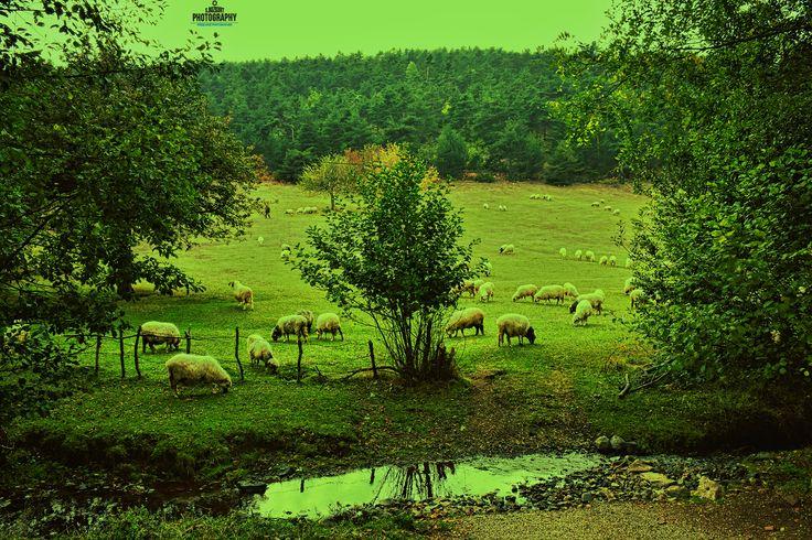 Çamiçi yaylası Tokat'ın Niksar ilçesindeki Çamiçi yaylasındaki kuzular ve yeşil otlak alanından güzel bir manzara…  Fotoğrafcı (Photographer): Serhat Bozkurt – Freelance Photographer