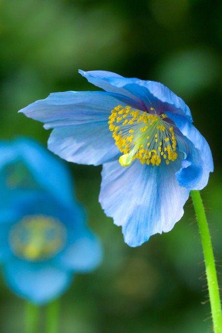 MID-LEVEL - Meconopsis betonicifolia - Himalayan blue poppy (must be nurtured, but beautiful)