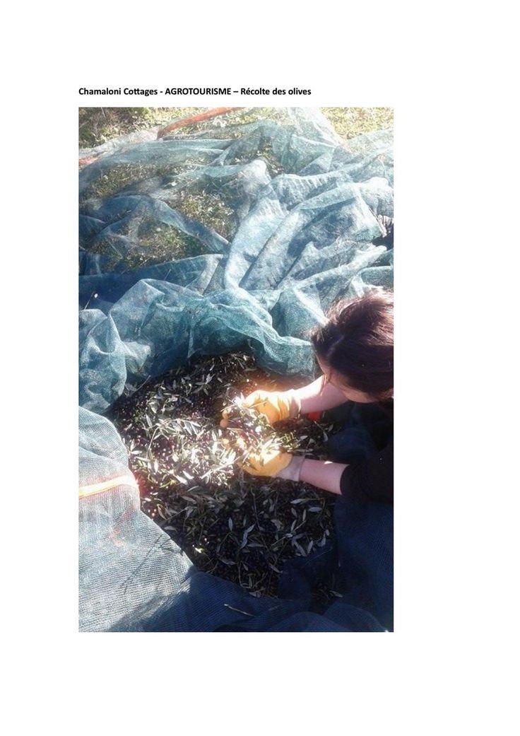 Chamaloni Cottages - Agrotourisme – Récolte des olives