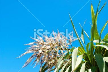 Ti Kouka (Cordyline australis) in Flower Royalty Free Stock Photo