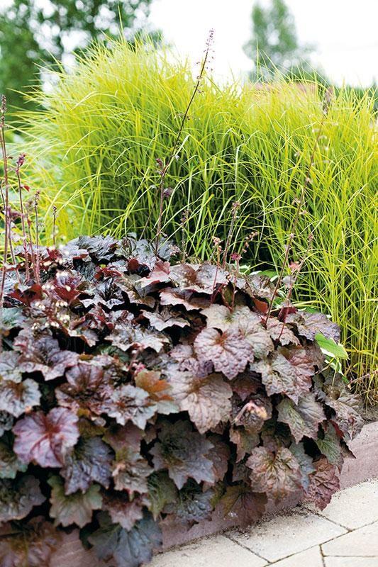 Palmusara (Carex muskingumensis) ja purppurakeijunkukka (Heuchera micrantha 'Palace Purple') http://www.viherpiha.fi/perennat-ja-sipulikasvit/unelmien-perennapenkki-loppukesa