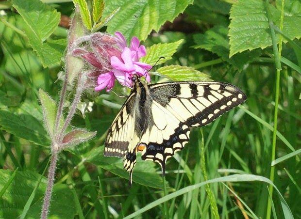 Ritariperhonen / swallowtail butterfly.