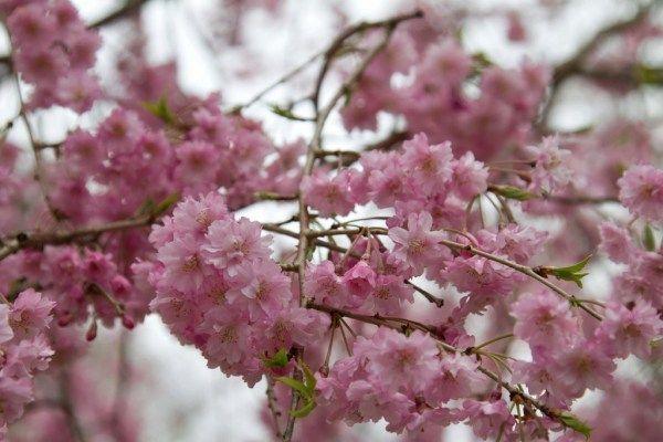 Difference Between Cherry Blossom And Plum Blossom Kyuhoshi Cvety Vesna Oboi