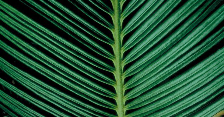 Infecciones Hongos - Moho blanco en las palmeras. Si notas moho blanco en tus palmeras, lo más probable es que seas el dueño de una palmera sago. Aunque no es realmente una palmera, pertenecen a un grupo de plantas llamadas cícadas, y como lo sugiere su nombre, parecen palmeras reales. Además, el moho blanco que ves es una infección y no un hongo. Aunque identificar esto parece ser confuso, su ... Investigadora Médica, Nutricionista, Consultora de Salud y Ex Paciente de Infecciones por...