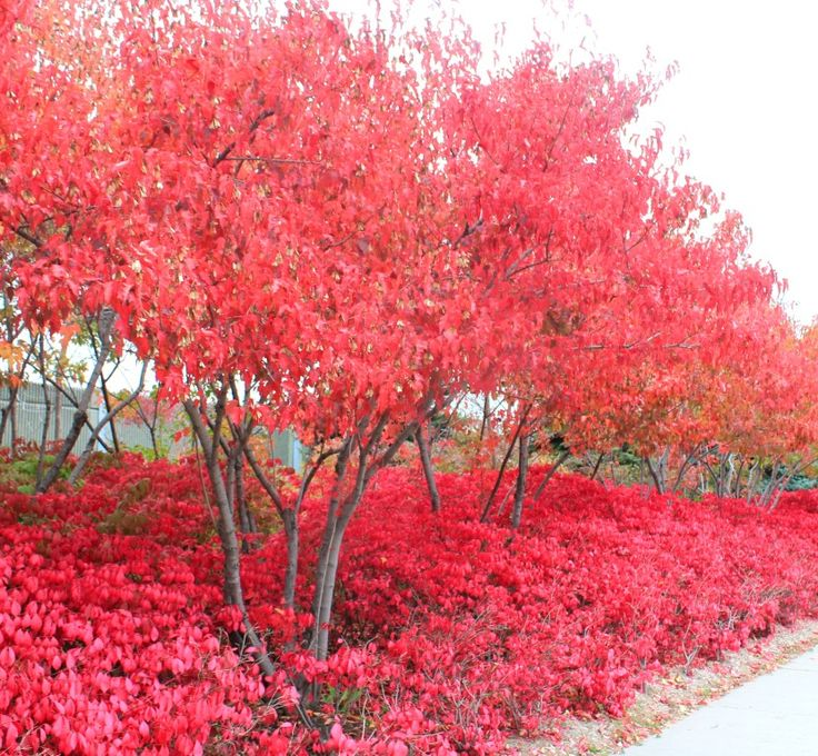 Burning Bush (Euonymus alatus 'Compactus') hedge and Tartarian maples both are so red!