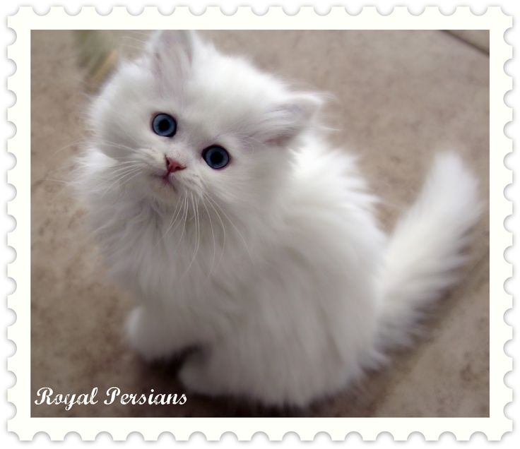 White persian kitten for sale uk