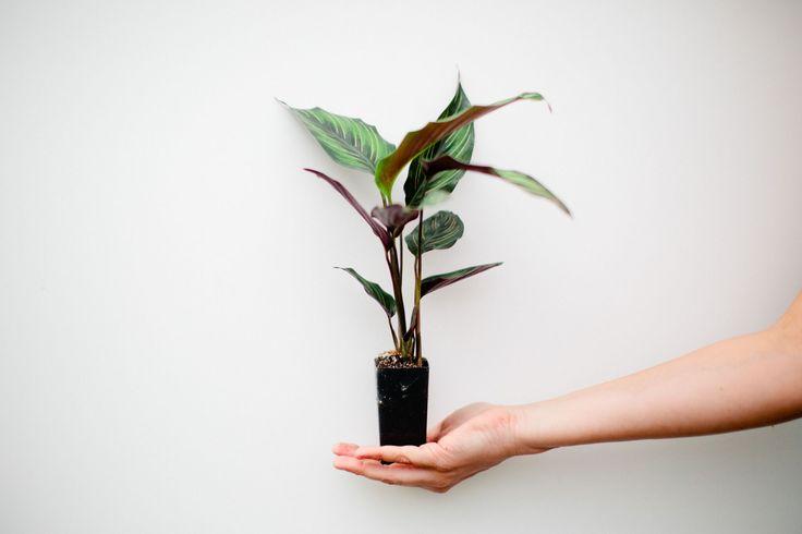 Calathea 'beauty star' | Buy Me #plantsinabox