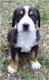 greater swiss mountain PUPPY!