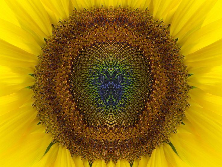 Afbeelding van http://www.galerie-bonnard.com/userdata/cache/Schilderijen/AfbeeldingDetail/schilderijen-Scarabee_-_hart_van_de_zonnebloem%20(2).jpg.