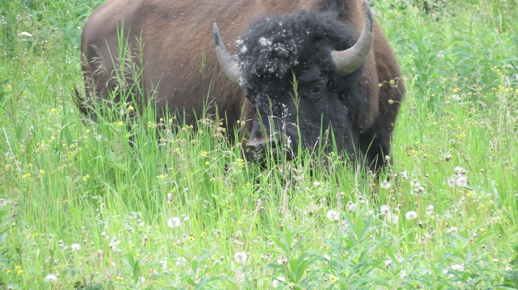 2012 - Buffalo/Bison - they always look bigger when you are on a bike.