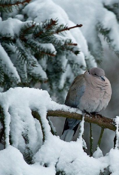 mourning or turtle dove in a snowy pine tree | bird + wildlife photography