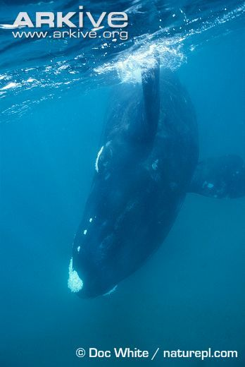 17 Best images about Right Whales on Pinterest | Mouths ...