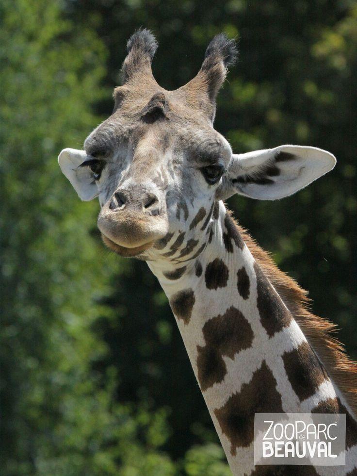 #Girafe - ZooParc de Beauval