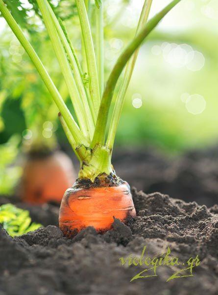 Βιολογικά καρότα