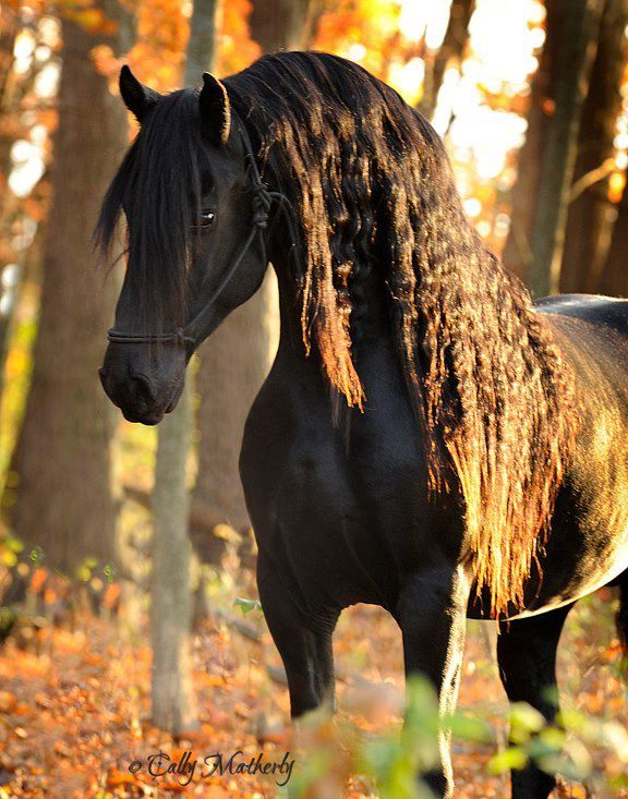 Apostle, 4 year old stallion by Anton 343, owned by Renee J. Massey-Hines.      Photo by: Cally Matherly
