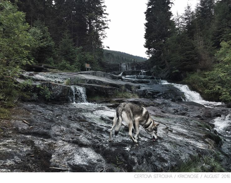 Wolfdog Maya on her travels through Czech Republic (Krkonose) @travelwithmaya