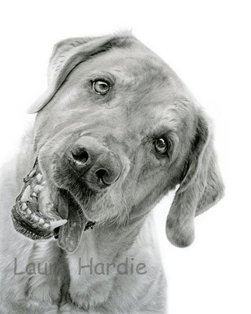 3062 best images about black and white drawing art on pinterest realistic pencil drawings - Dessin labrador ...