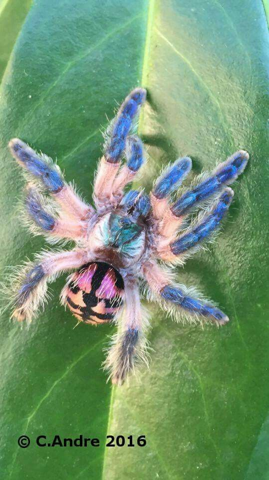 Exotic Birds For Sale >> 1000+ images about Tarantula Wish List on Pinterest