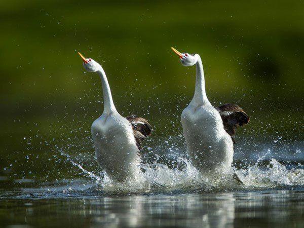 L'uccello che per fidanzarsi deve camminare sull'acqua