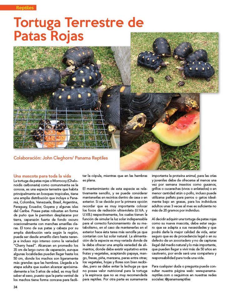 Tortuga 🐢 Terrestre de Patas Rojas.  Sección de Reptiles, colaboración de John Cleghorn de @panamareptiles   #PetsWorldMagazine #RevistaDeMascotas #Panama #Mascotas #MascotasPanama #MascotasPty #PetsMagazine #MascotasAdorables #Perros #PerrosPty #PerrosPanama #Pets #PetsLovers #Reptiles #Tortuga #TortugaTerrestre #TortugaTerresteDePatasRojas #PicOfTheDay #Cute #SuperTiernos