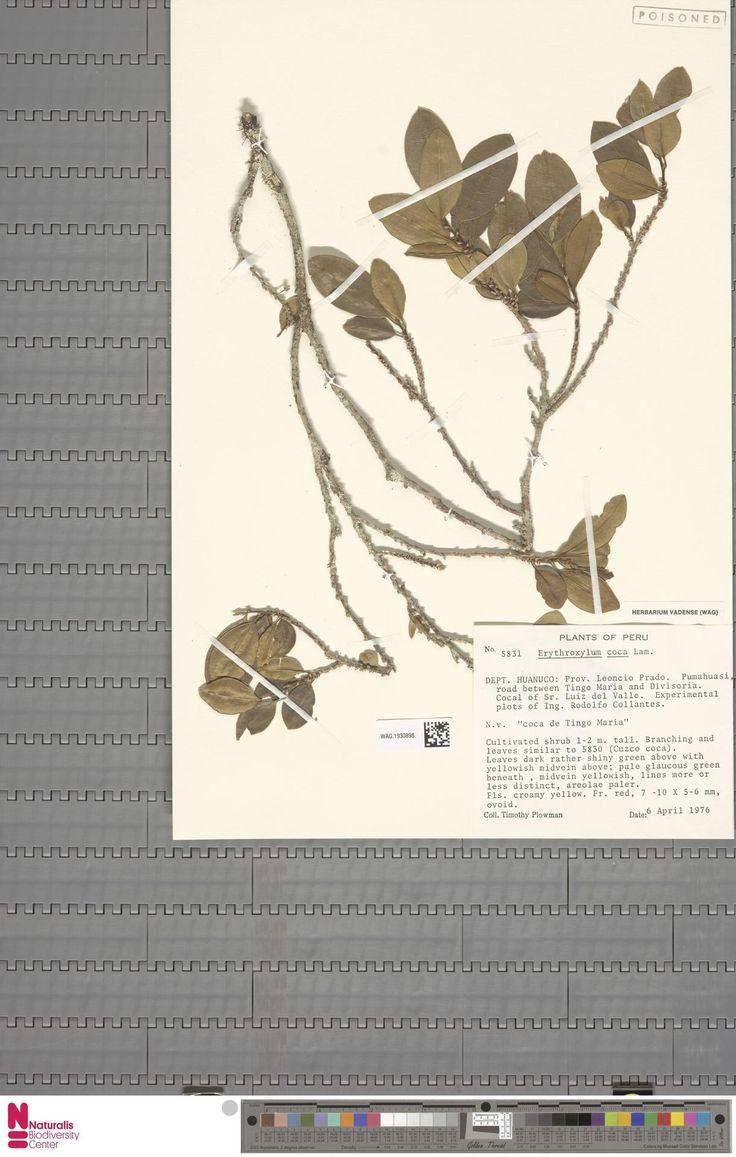 WAG.1930898 | Erythroxylum coca Lam. var. ipadu Plowman
