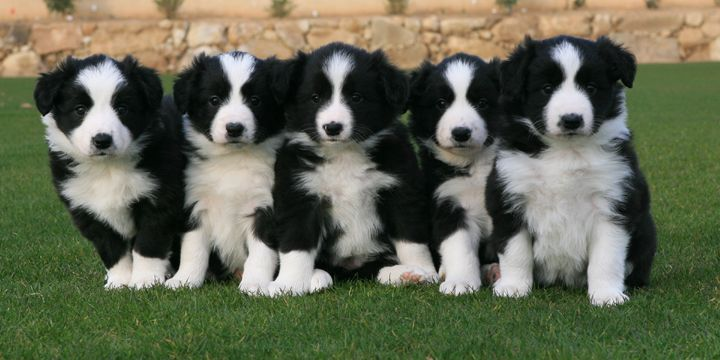 Adorable Border Collie Puppies. For more cute puppies, check out our youtube channel: https://www.youtube.com/channel/UCH7efODYtEdnWfAm1eS4NMA