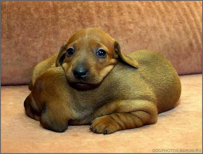 Those Adorable Wrinkled Feet Sweet Ones Dachshund