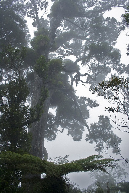 New Zealand, Rimu tree in the mist by Steve Attwood.