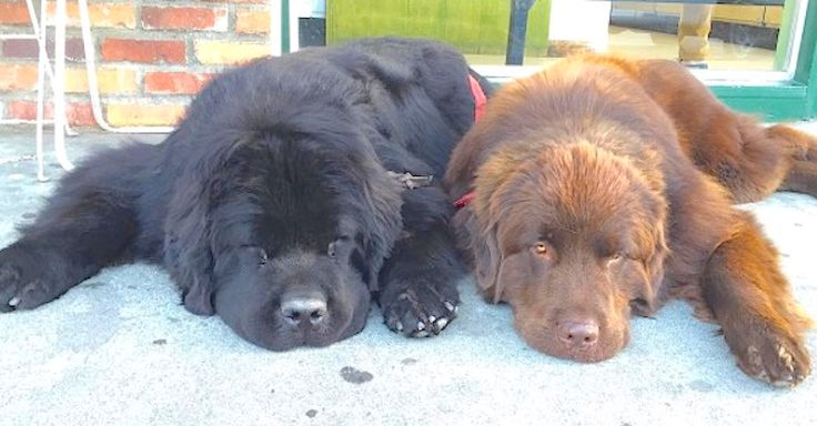 Two Enormous Dogs May Be The World's Biggest Babysitters via LittleThings.com  I can't believe this family didn't know this when they adopted them... crazy!  #littlethings #newfoundland #dogs