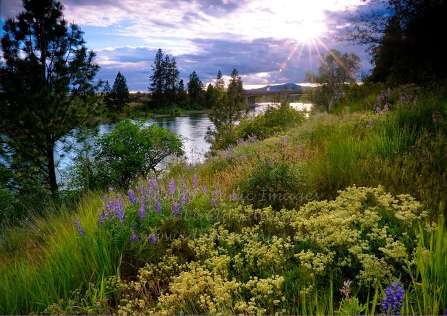 Idaho-Washington state line at Post Falls. Wildflowers on the Idaho side of the Spokane River at state line after a clearing spring storm.