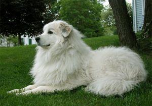 3º Cão de Montanha dos Pirineus