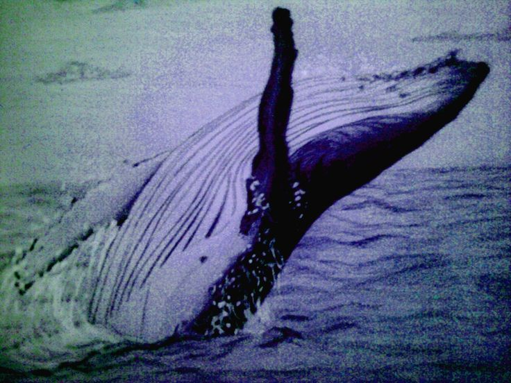 A jumping humpbackwhale