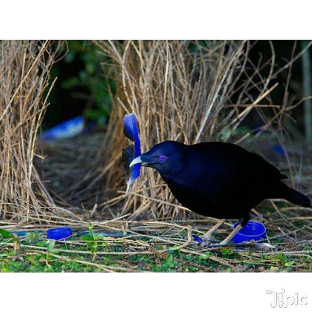"""le """"jardinier satiné"""" qui construit le nid pour sa parade nuptiale avec des morceaux de matériaux bleus"""