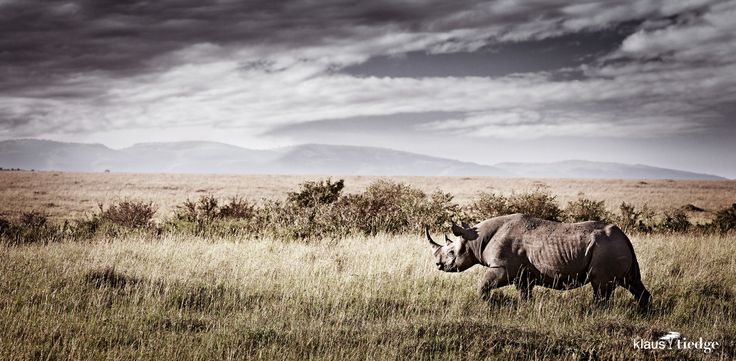FORTE#2 , limited edition print available, rhino in the massai mara kenya