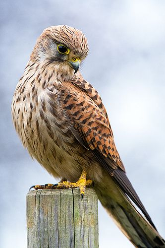Common Kestrel (Falco tinnunculus) | Birds-Falconiformes ...