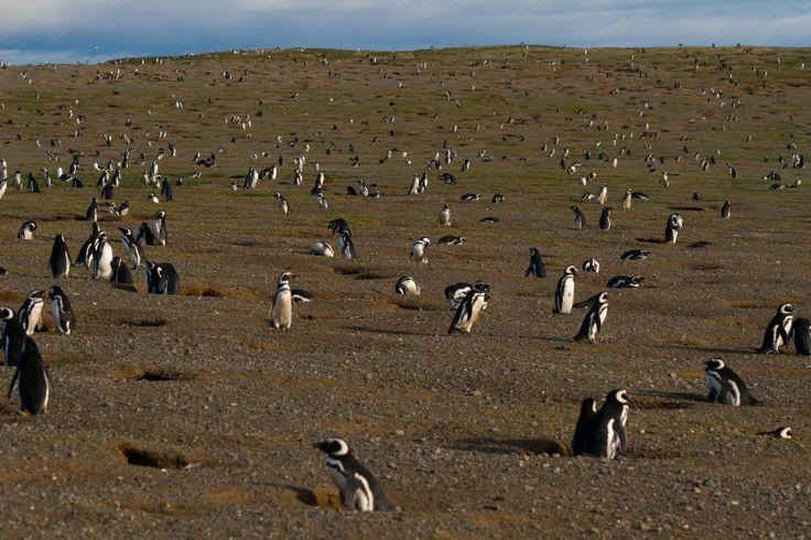 Pingüinos de Magallanes en Isla Magdalena, en la Patagonia chilena. / ANTONIO VACCARINI