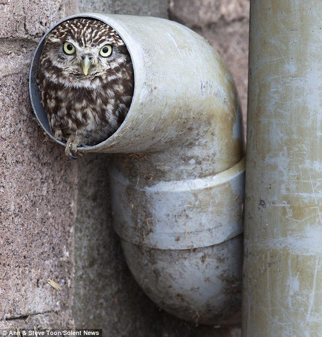 What a hoot: Eggnog the Little Owl  is said to be happy in his drainpipe as he feels safe and secure from any prying predators looking for a tasty snack.