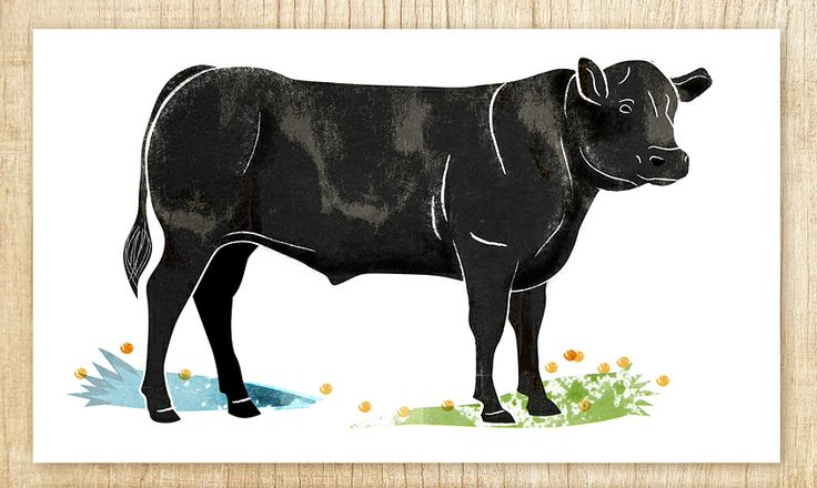 Black Angus cow for Atria Food services.