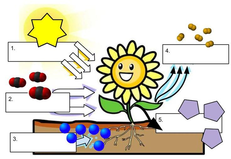 How Does Photosynthesis Work Label Cells Pinterest