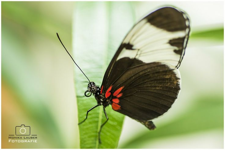 Red, White and Black Butterfly, Photo by Monika Lauber